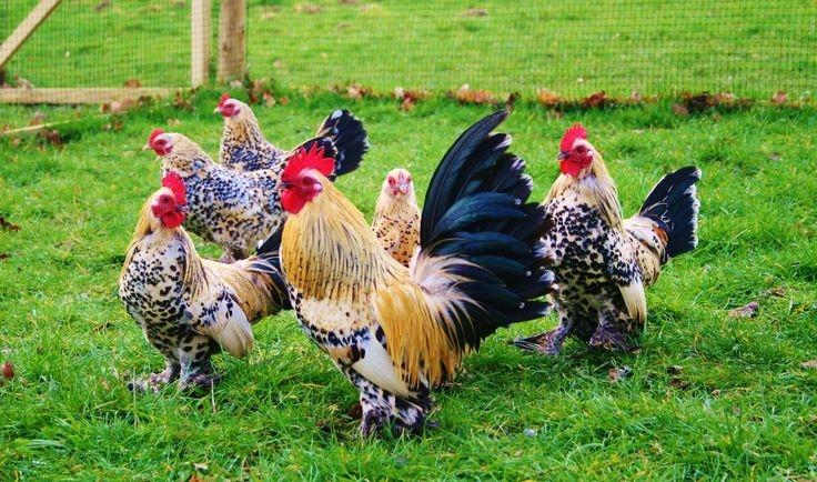 О профилактике Ньюкаслской болезни в птицеводстве