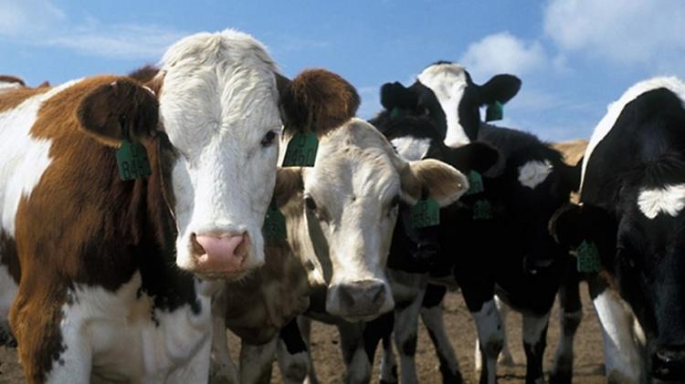 О распространенности респираторно-кишечных инфекций крупного рогатого скота