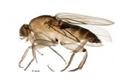 Внимание новый карантинный объект муха-горбатка (Megaselia scalaris)