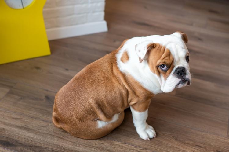 У собаки выделен парвовирусный энтерит