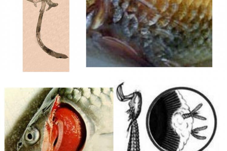 Обнаружен синергазилез и лернеоз у рыбы