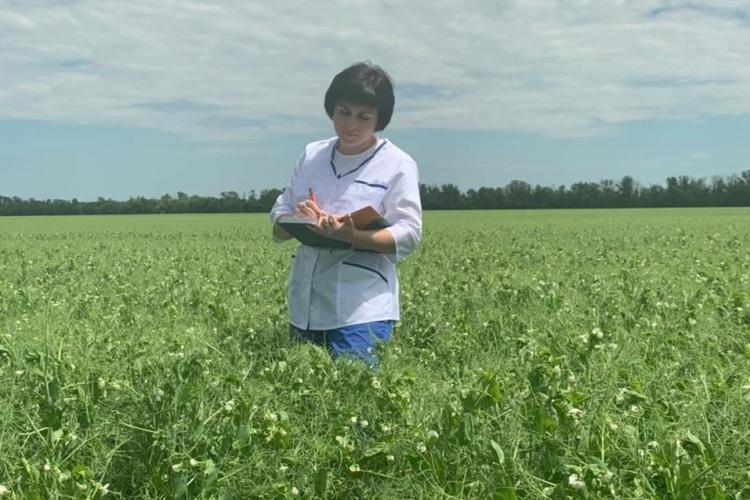 В Белоглинском районе специалистами проведена апробация семенного посева гороха