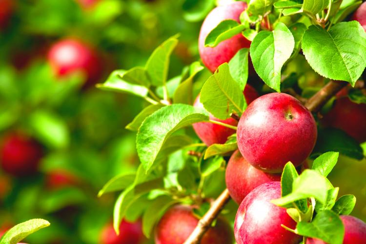 Специалисты Лабинского отделения Кавказского МРО провели отбор свежих фруктов