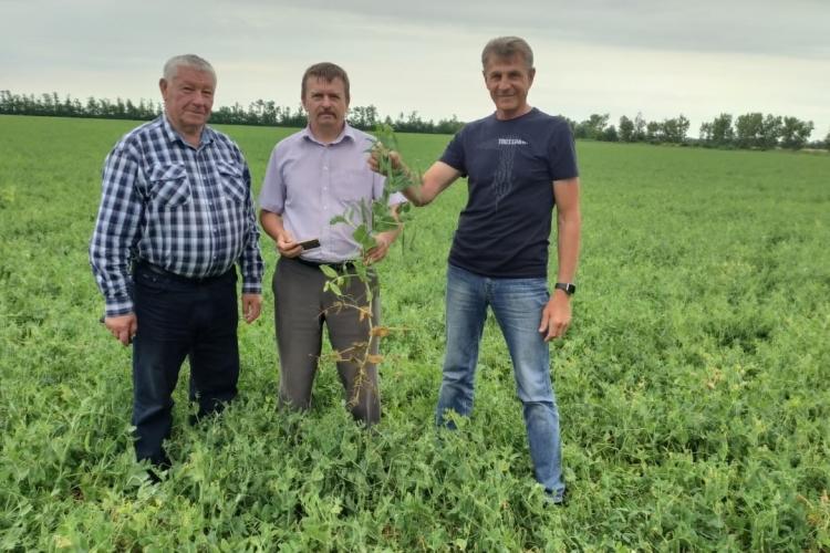Проведены полевые обследования семенных посевов овощного гороха