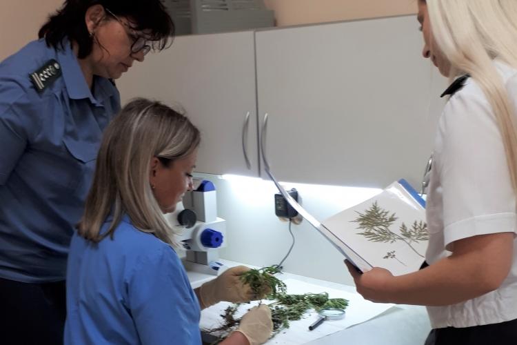 В образцах растений в Тбилисском МРО найдена амброзия