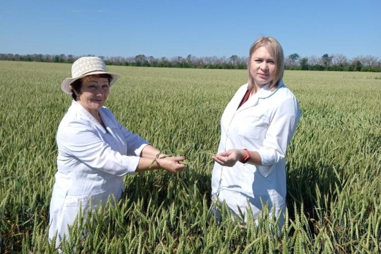 Апробацию и регистрацию семенных посевов начали специалисты Павловского МРО