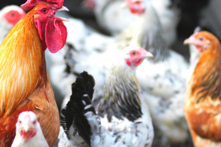 Рекомендации владельцам домашней птицы