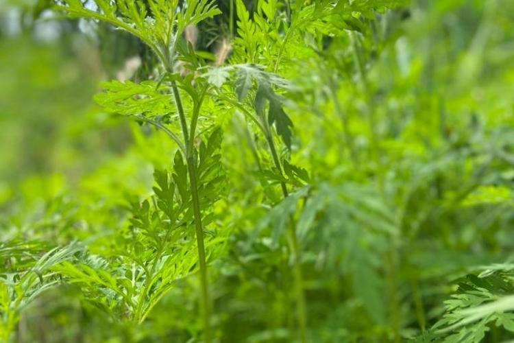 Специалистами Темрюкского МРО обнаружен вредоносный карантинный сорняк