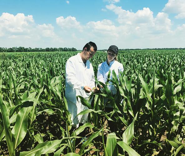 Проведено обследование посевов кукурузы