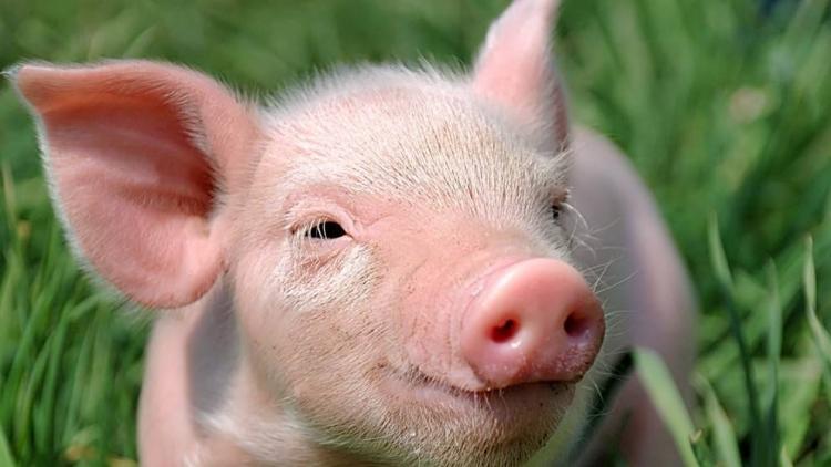 Об обнаружении яиц возбудителя аскаридоза у свиней